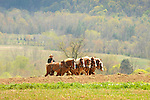 Amishman cultivating in Spring with six horse team . Nippenose Valley. Bastress Township.