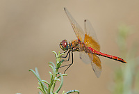 362700039 male band-winged meadowhawk sympetrum semicintum wild california