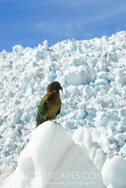 Only alpine parrot in the world - Kea - under the main icefall on the Franz Josef Glacier - Westland National Park, West Coast, New Zealand