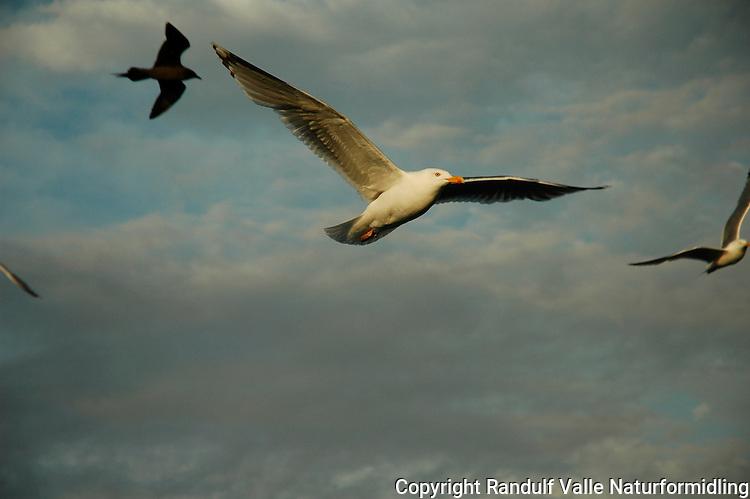Gråmåke ---- Herring gull