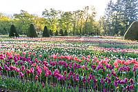 France, Indre-et-Loire (37), Chenonceaux, château et jardins de Chenonceau, tulipes dans le potager des fleurs