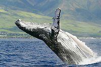 Adult Humpback Whale, Megaptera novaeangliae, breaching in the AuAu Channel in Maui, Hawaii, USA. PAcific Ocean