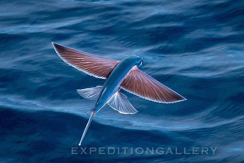 Flying fish, South Atlantic Ocean off Angola, Africa.