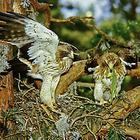 Zwergadler, Paar, Pärchen am Nest, Horst, mit Beute, erbeuteter Eidechse, Zwerg-Adler, Adler, Hieraaetus pennatus, Aquila pennata, Aquila minuta, booted eagle, L'Aigle botté