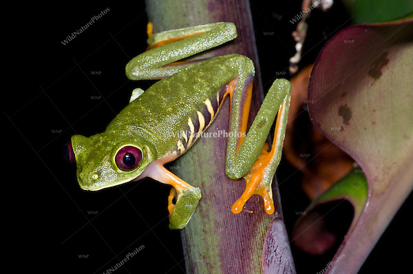 A Red-eyed Tree Frog (Agalychnis callidryas) male, looking for a good vantage point to attract a mate, Bocas del Toro, Panama