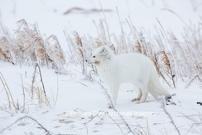 01863-01607 Arctic Fox (Alopex lagopus) in winter Churchil Wildlife Management Area Churchill, MB