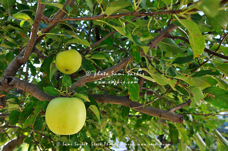 Two Green Apples on tree