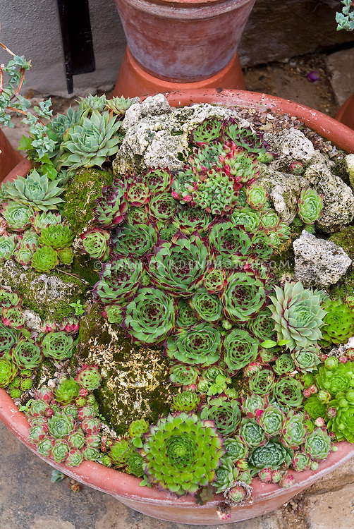 Succulent container garden plant flower stock photography - How to make a succulent container garden ...