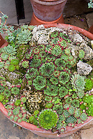 Sempervivums sedums in container pot, mixed succulent plants