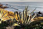 Agave Plant 2, Corona del Mar, CA.