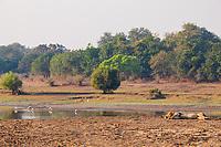 africa, Zambia, South Luangwa National Park,  Lion sleeping on the Luwanga river shore