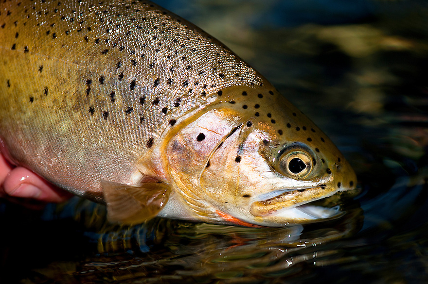 A westslope cutthroat trout is released in the waters of the North Fork of the Blackfoot River near Missoula, Montana.
