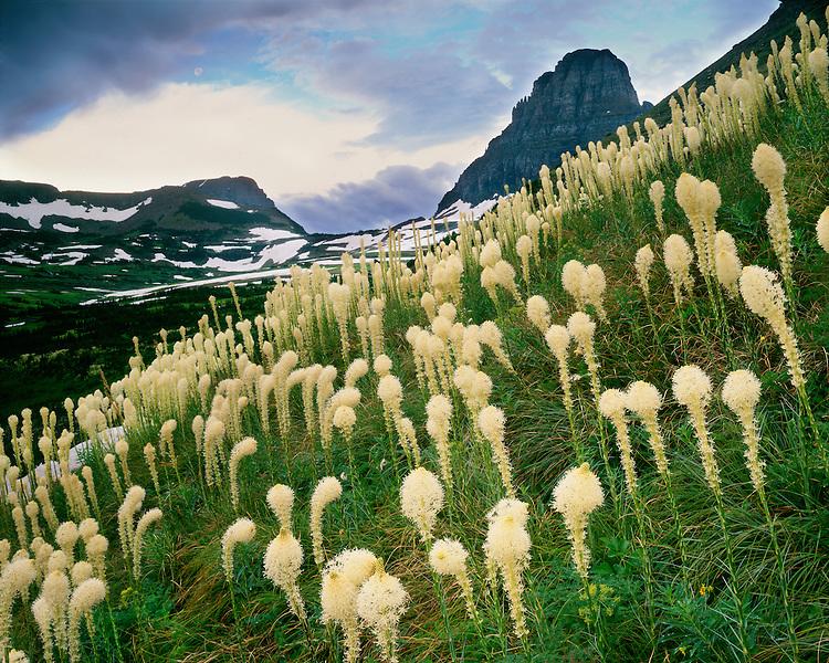 Bear Grass (Xerophyllum tenax) in bloom in Logan Pass; Glacier National Park, MT