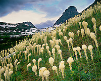 Bear Grass (Xerophyllum tenax) in bloom in Logan Pass; Glacier National Park, MT