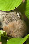 Northern Flying Squirrel, Glaucomis sabrinus, sleeping