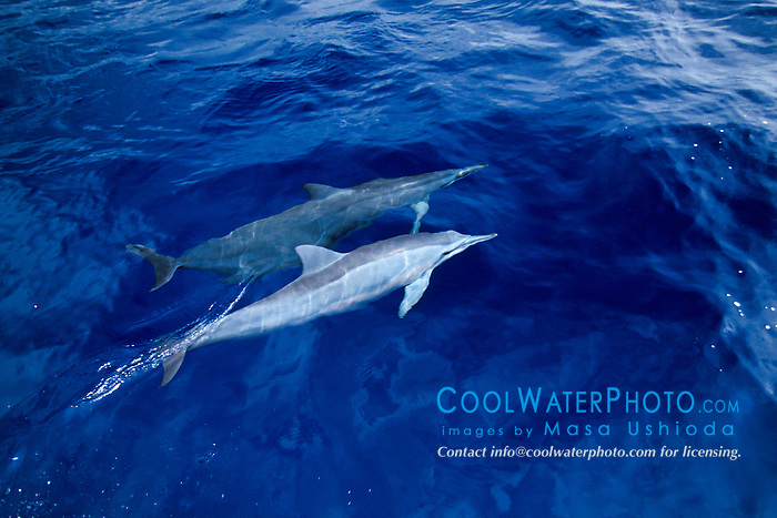 long-snouted spinner dolphins bow-riding, Stenella longirostris, note pale coloration or white color morph, off Kona Coast, Big Island, Hawaii, Pacific Ocean
