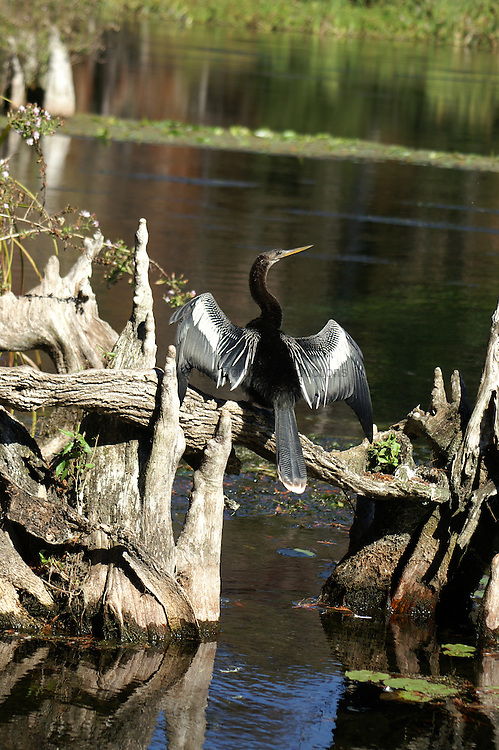 A male anhinga drys its wings.  The anhinga is a primative bird with no oil on its feathers.  It is a diving bird that also swims after its prey.  Once it has eaten, it climbs out of the water to a sunny place to dry its feathers.