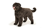 Bouvier des Flanders Dog, Standing, Studio, White Background