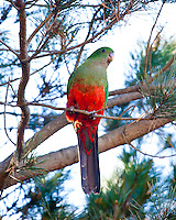 King Parrot female, Lithgow Crv Pk, Lithgow, Blue Mtns, NSW, Australia