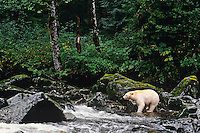 Kermode Black Bear (Ursus americanus kermodei) looking for salmon along small stream on Princess Royal Island, British Columbia.  Sept.