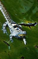 Ringelnatter, Ringel-Natter, Natter, hat eine Unke erbeutet und verschlingt die Beute, Natrix natrix, grass snake