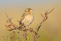 Adult Baird's Sparrow (Ammodramus bairdii). Southeast Alberta, Canada. May.
