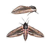 69.006 (1976)<br /> Privet Hawk-moth - Sphinx ligustri