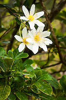 Clematis paniculata, native vine in blossom, Westland National Park, West Coast, New Zealand