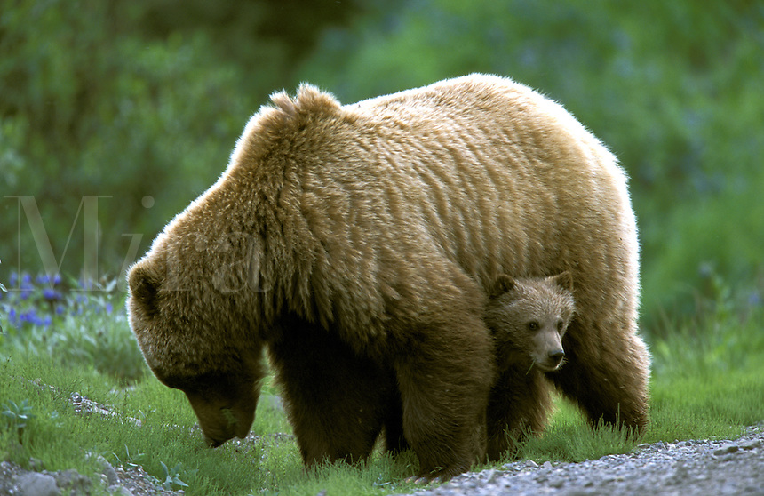 "Grizzly ""Brown"" Bear Sow and Cub (Ursus arctos).  Denali National Park, Alaska."