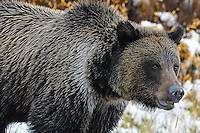 A Grizzly Bear Boar presents an imposing portrait in the Absaroka Mountains, Wyoming.