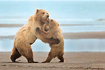 Pictured:  The mother bear dacing with one of her cubs<br /> <br /> A mother brown bear looks like she's teaching one of her cubs how to dance on a beautiful sandy beach, just in time for Mother's Day.  What appears to be a bear version of Strictly Come Dancing is actually the mother teaching her cubs how to fight and defend themselves before they become independent and leave her side.<br /> <br /> The photos were taken at Lake Clark National Park in Alaska, USA, a well-known place to capture photographs of the sub-species of Grizzly bears.  Photographer and immigration attorney Karyn Schiller, 53, said she came to this place with the sole reason of seeing the wonderful bears in their natural habitat.  SEE OUR COPY FOR DETAILS.<br /> <br /> Please byline: Karyn Schiller/Solent News<br /> <br /> &copy; Karyn Schiller/Solent News &amp; Photo Agency<br /> UK +44 (0) 2380 458800