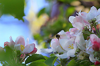 A bee gathering nectar from apple tree blossoms.///Butinage de fleurs de pommier par une abeille.