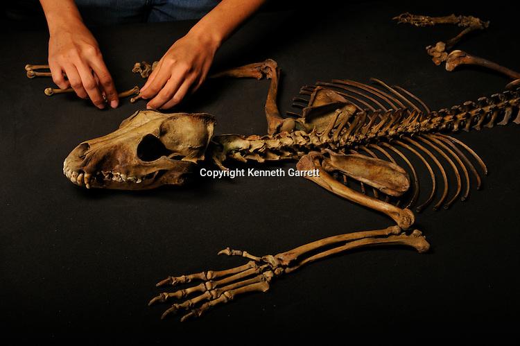 Greatest Aztecs; MM7677; Mexico City; Mexico; Aztec, Tomb of Ahuitzotl, tomb offering, Dog Skull