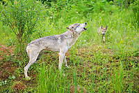 Gray wolf (Canis lupus), adult, howling in the meadow, young animal in the back, Pine County, Minnesota, USA, North America
