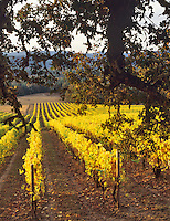 Alpine Vineyards in fall color with oak tree. Near Alpine, Oregon.