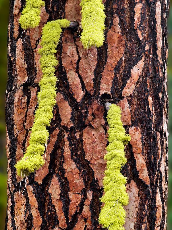 Licken on ponderosa pine tree. Oregon