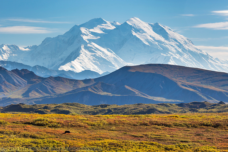 Grizzly bear forages on blueberries in the autumn tundra beneath Denali, Denali National Park, Alaska.