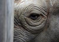 Auges des schwangeres Spitzmaulnashorn Sarafine (11) im Leipziger Zoo / eye of pregnant black rhinocerus / rhino in the Zoo of Leipzig .Foto: aif / Norman Rembarz..Jegliche kommerzielle wie redaktionelle Nutzung ist honorar- und mehrwertsteuerpflichtig! Persönlichkeitsrechte sind zu wahren. Es wird keine Haftung übernommen bei Verletzung von Rechten Dritter. Autoren-Nennung gem. §13 UrhGes. wird verlangt. Weitergabe an Dritte nur nach  vorheriger Absprache. Online-Nutzung ist separat kostenpflichtig.