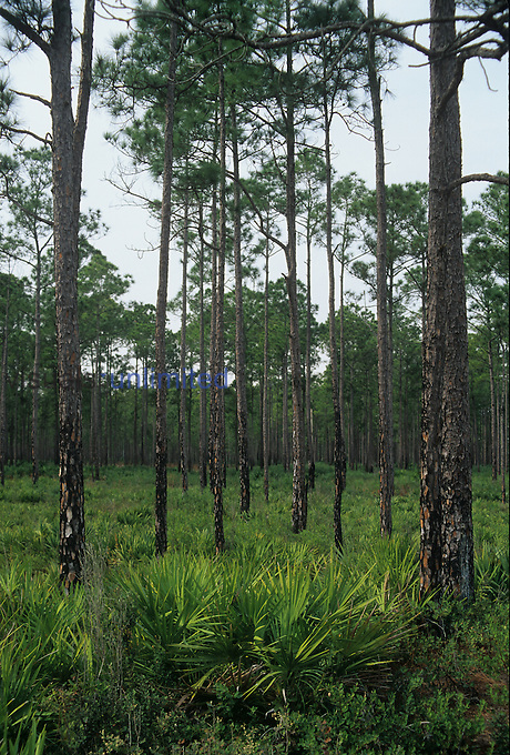 Selectively cut and fire-managed Slash Pine forest (Pinus elliotti) with Saw Palmetto understory, Florida.