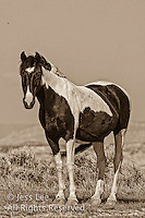 Pryor mountain mustangs Wild Horse Photography by western photographer Jess Lee. Pictures of mustangs in the West. Fine art images,Prints,photos Wild horse photo,wildhorses in the american west,