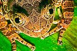 Restrained red leggade walking frog shot in Santa Barbara California