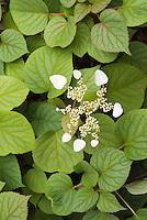 Climbing Hydrangea Vine Schizophragma hydrangeoides Moonlight in flower