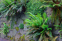 ORPTC_D160 - USA, Oregon, Portland, Crystal Springs Rhododendron Garden, Variety of ferns, moss and flowering plants growing on and near man-made vertical rock wall.