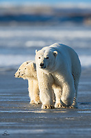 Mother Polar Bear (Ursus maritimus) puts herself between her cubs and the humans on the boat. Now the family is out on the sea ice, hunting seals.