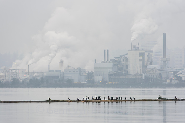A mixed group of cormorants rests on a log boom near a pulp mill in Tacoma, Washington. January.