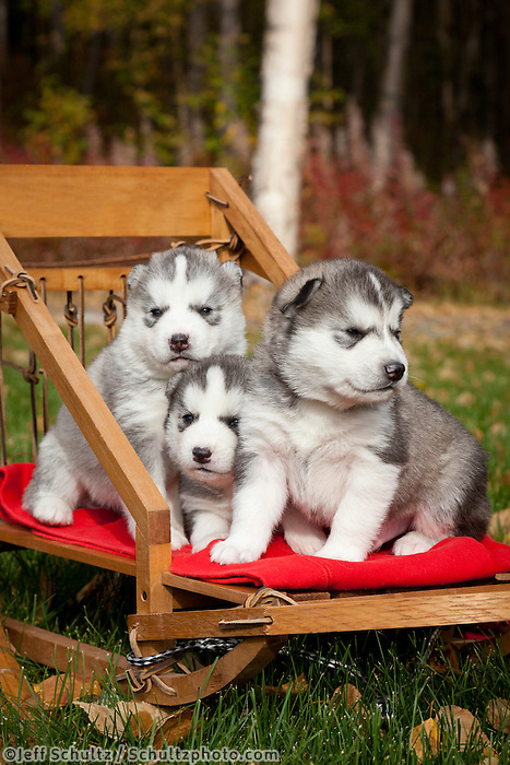 3-week old pure-bred Siberian Husky puppies in small wooden dog sled   Outdoors  Fall