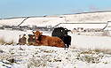 05/12/12 ..As the big freeze spreads across the country, cattle huddle together for warmth after the first snowfall of winter near Flash, in The Peak District near Leek, Staffordshire...All Rights Reserved - F Stop Press.  www.fstoppress.com. Tel: +44 (0)1335 300098.