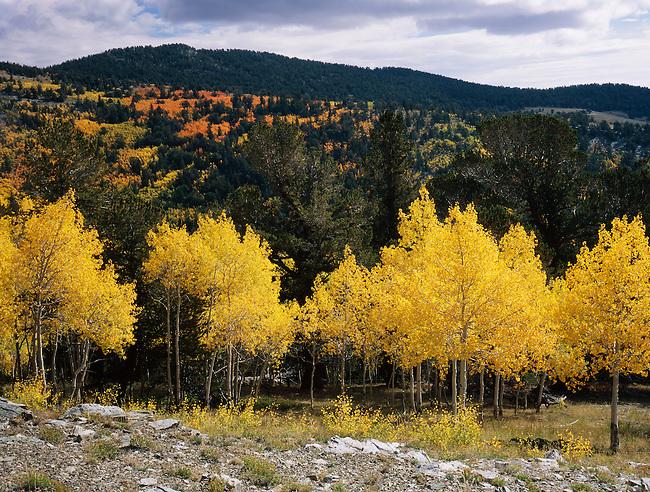 Aspen; fall color; Mt. Moriah Wilderness; Nevada