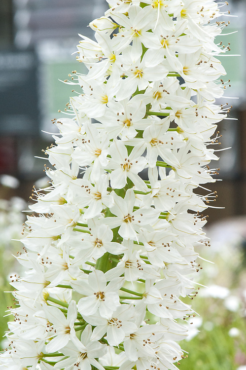 Eremurus × isabellinus 'Tropical Dream', late May. A white Foxtail lily.