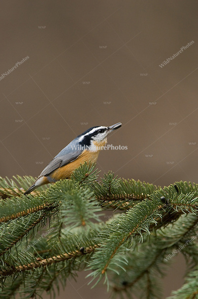 Red-breasted Nuthatch (Sitta canadensis) perched with sunflower seed; Michigan